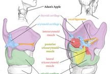 Adult anatomy
