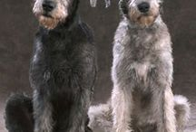 Irish Wolfies & Great Danes / I have a small obsession with LARGE dogs :)