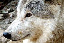 Himalayan Wolf / Information and News about the Himalayan Wolf