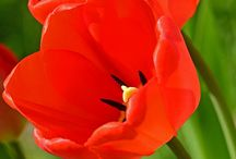 Tulip / Red