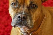 Boxer dog Diana