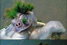 Schildkröten-Turtels