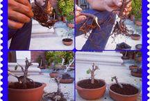 bonsai succulent