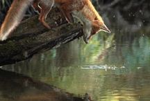 Foxes / My favourite animal