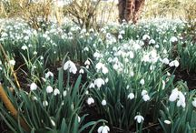 spring / #spring #snowdrops #nature #blossoms #sun