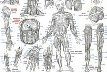 Anatomie …