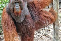 Animals: Orangutans / Photo galleries dedicated to orangutans.