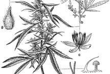 Hemp plant paintings