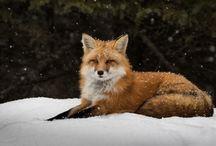 ANIMAL • Fox