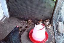 Chicken 2016 / Barnevelder chickens, born on May 26, 2016