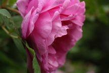 Ruusuja-Roses in my garden