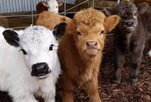 minature cattle