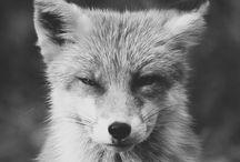 Lyška/Fox