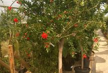 Pomegranate Tree - Punican granatum / Stunning Pomegranate Trees - beautiful trees with delicious fruit which are full of antioxidants