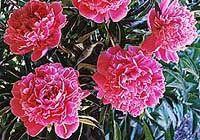 BMB Flowers Perennials