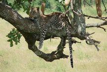 YHA Kenya Travel Tours And Safaris. / Browse our amazing adventure safari holiday packages in Kenya and Tanzania, Kenya adventure budget camping safaris, Kenya Tanzania luxury lodge safaris, budget Kenya and Tanzania safari holidays, Kenya Safaris. http://www.yhakenyatraveltoursandsafaris.com