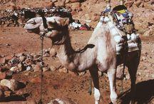 Wycieczka na Górę Synaj / Wielbłąd