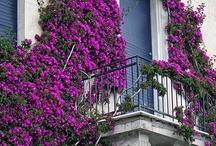 FLOWERS _ BOUGANVILLEA