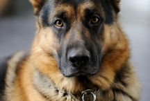German Shepherd ♥