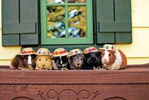 Guinea piggies! / wheeek wheek wheeek!