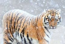 Beautiful and Big Cats / Tigers Galore
