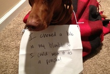 Vizsla Shaming :-) / You have seen them all over the place - dogs with signs. Vizslas are no exception. Here are some of our favorites.
