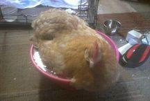 Fat chicks