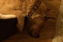 PIP the Patterdale Terrier Cross / PIP arrived with us on Friday March 13th, 2015.