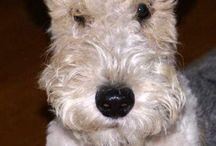 like Ollie our Lakeland Terrier