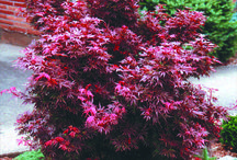 Magnificent Japanese Maples / Japanese maples are especially prized for the diversity of size, shape and colour of foliage. Foliage colour changes with the season, and many are especially spectacular in the autumn.