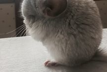 Yuki- Chinchilla which is looking at world through the heart / Yuki- Chinchilla White Wilson is blind. it has 4 months and can't see from birth. We want people become convinced to disabled animals.