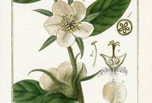 botaniculus