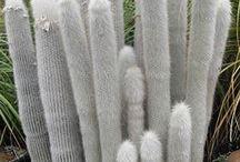 cactus . suculentas.crasas