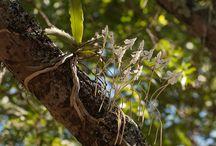 Angraecoid orchids. Genus Aerangis