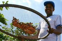 Koffieland: Brazilië / Nadat koffie werd ingevoerd vanuit Frans-Guyana in het begin van de 18e eeuw, verspreidde koffie zich snel en hierdoor floreerde de koffie-industrie al snel in Brazilië. Tegenwoordig is Brazilië verantwoordelijk voor ongeveer een derde van de wereldwijde koffieproductie, waardoor het verreweg het belangrijkste koffieland ter wereld is.