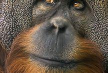 Orangutan ♡