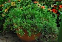 Growing taragon