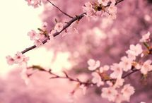 JAPAN_SAKURA / Cherry Blossom / by Masaki Kawato