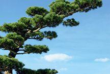 niwaki / o tvarovaní stromov v japonských záhradách