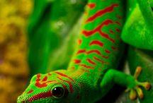 Reptiles / Geckos, Lizards