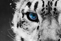 snow leopard ♡