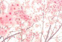 Cherry blossoms / Kiraz çiçekleri ^_^