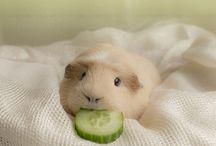 cochon d'inde ❤