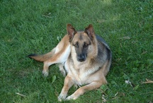 Angel Star / Angel star.  My dog of many years. Deceased 12/26/12.  She will be missed. / by Green State Organics