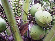 Alles über Kokosöl / Kokosöl ist eines der gesündesten Öle überhaupt. Hier gibt es Informationen zu den Inhaltsstoffen.