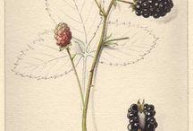 ilustracje botaniczne