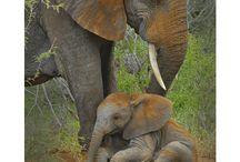 Elefanten - II