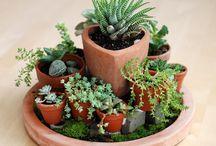 Mini cactus gardens