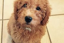 My baby labradoodle
