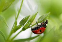 Ladybug / Marihøne